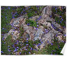 Jacaranda blossoms scattered among the roots Poster