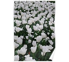 Tulips in White Poster