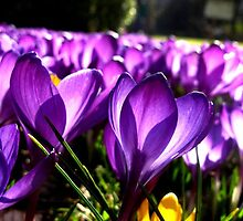Purple Spring by Pippa Carvell