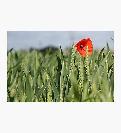 Poppy amongst the wheat Photographic Print