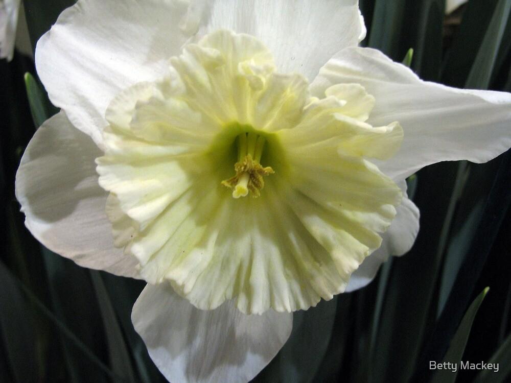 Ice Follies Daffodil by Betty Mackey