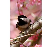 Curious Chickadee Perched Before Pink Blossoms Photographic Print