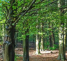 The Beech Woods by Nick Jenkins