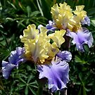 Edith Wolford Iris by Marjorie Wallace
