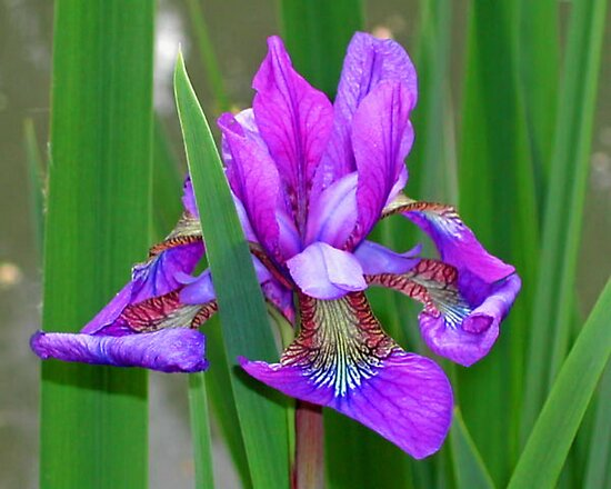 An Iris taken in Monet's Garden in France by AnnDixon