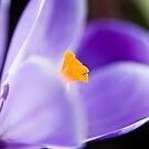 Spring in the air - Crocus by Nala
