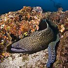 Moray Eel, Tofo Mozambique by wildshot