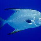 Snubnose Dart, Great Barrier Reef by Erik Schlogl