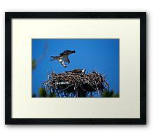 Osprey Brings Nesting Materials Framed Print
