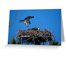 Osprey Brings Nesting Materials Greeting Card