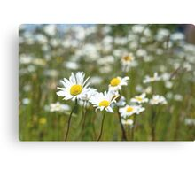 Oxeye Daisies in a field Canvas Print
