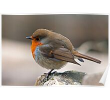 Robin fluffed up on a cold winter day Poster