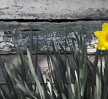 Daffodil by Lisa  Kenny