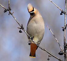 Today's Bohemian Waxwing  by Gary Fairhead