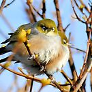 Snuggle Time - Silvereyes - NZ by AndreaEL