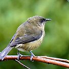 My Mate Is More Handome  - Female Bellbird - NZ by AndreaEL