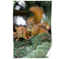 Baby Squirrel Play Poster