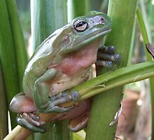 Green Tree Frog by Gabrielle  Lees