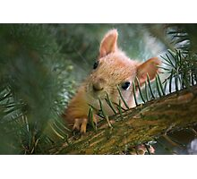 Baby Squirrel in the fur tree Photographic Print