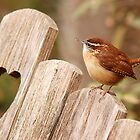 Hearty Wren by Nick Conde-Dudding