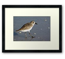 Sanderling Framed Print