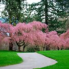 Cheery Blossom Time in VanDusen Botanical Garden by Carol Clifford