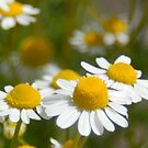 Chamomile at LaPurisma mission by Kimberly Kay Spies