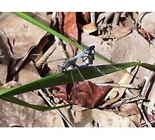 Dragonflies - Caught Unaware Photographic Print