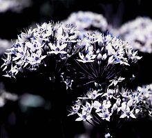 Garlic Chives- Boulder, Western Australia by Ashli Zis