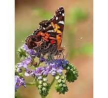 American Painted Lady Photographic Print