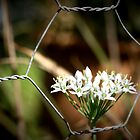 Through the Fence by Ashli Zis