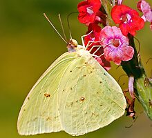Cloudless Giant Sulphur by Nick Conde-Dudding