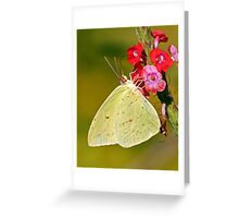 Cloudless Giant Sulphur Greeting Card