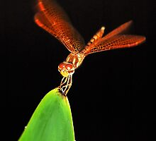 Eastern Amberwing Dragonfly by Nick Conde-Dudding