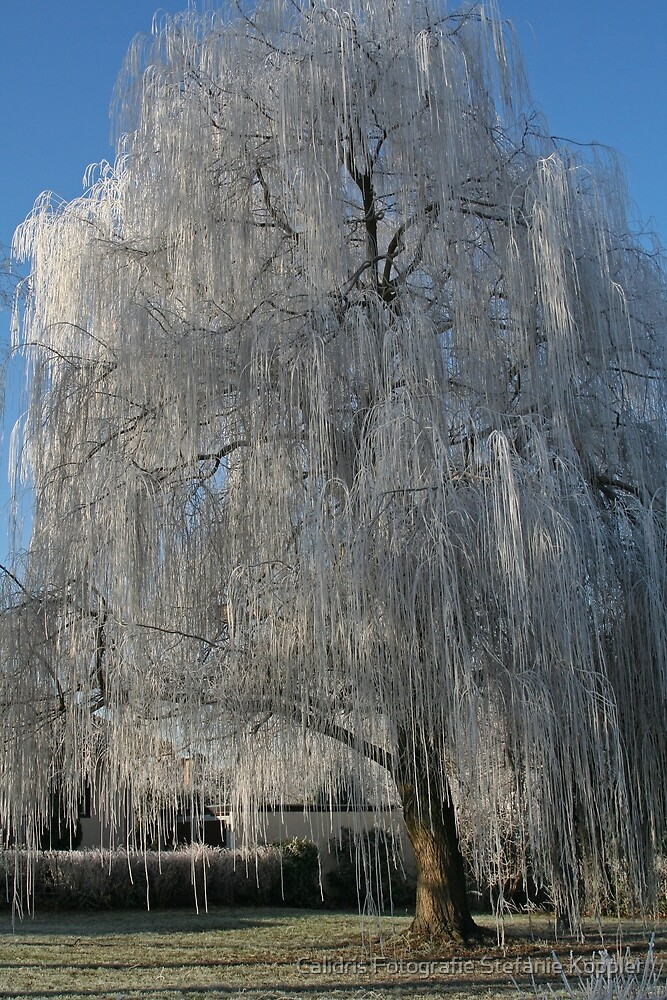 Willow on Ice by Stefanie Köppler