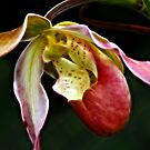 Lady's Slipper Orchid  I by Lesley Smitheringale