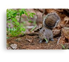 Gray Squirrel - Ottawa, Ontario Canvas Print