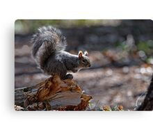 Grey Squirrel - Ottawa, Ontario Canvas Print