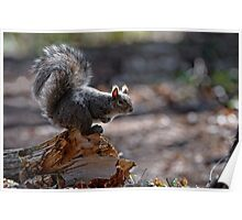Grey Squirrel - Ottawa, Ontario Poster