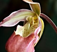 Lady's Slipper Orchid IV by Lesley Smitheringale