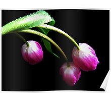 Lovely Tulips. Poster