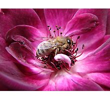 Buzz Buzz! Burgundy Iceburg Rose! Photographic Print