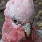 Baby Galah Up Close! by Gabrielle  Lees