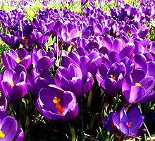 Purple Carpet by Pippa Carvell