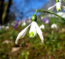 Spring Snowdrop by Pippa Carvell