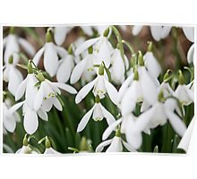 Spring is on us  - Snowdrops - ( Galanthus ) Poster