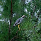 Yellow Crowned Night Heron by Linda Godfrey