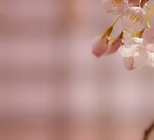 Sakura by Lisa Knechtel