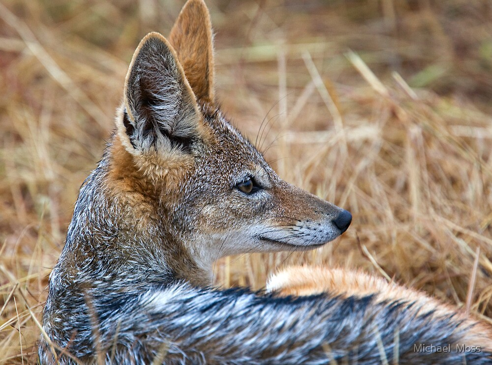 Black Backed Jackel Close Up by Michael  Moss