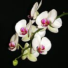 White Orchid by Segalili